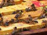 60,000 bees removed from cabin with a vacuum