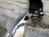 'Penguin cam' popular on Twitter