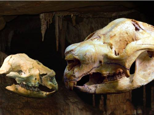 The adult and baby skulls of a sheep-sized diprotodontoid marsupial called Nimbadon has been discovered in a 15 million year old fossil cave in north western Queensland. (AAP)