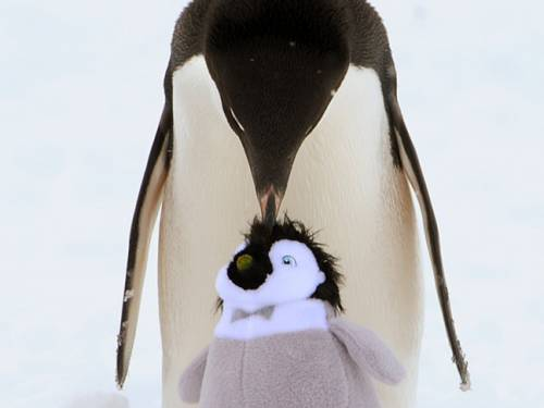 An Adelie penguin starts to groom a soft penguin toy at Commonwealth Bay 20 kilometres from Mawson's Hut in Antarctica. (AAP)