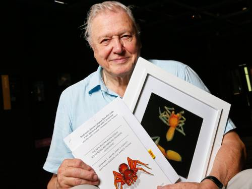 Sir David Attenborough with a photograph of the prethopalpus attenboroughi spider at the museum of Western Australia in Perth. (AAP)