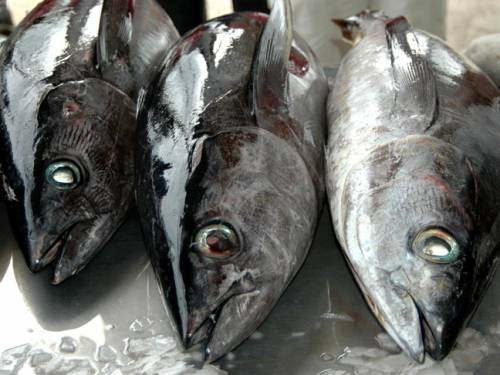 Some tuna species are under threat due to overfishing. (AAP)