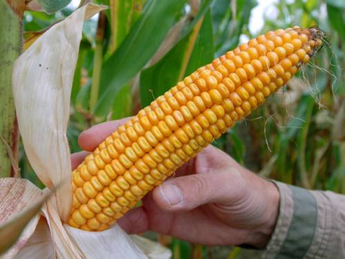 A new study has found genetically-modified corn is linked to cancer. (AAP)