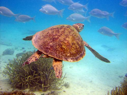 Turtles are threatened by pollution, accidental drowning in fishing nets and traps, over-harvesting of eggs, and predation by foxes, feral pigs, dogs and goannas. (File: AAP)