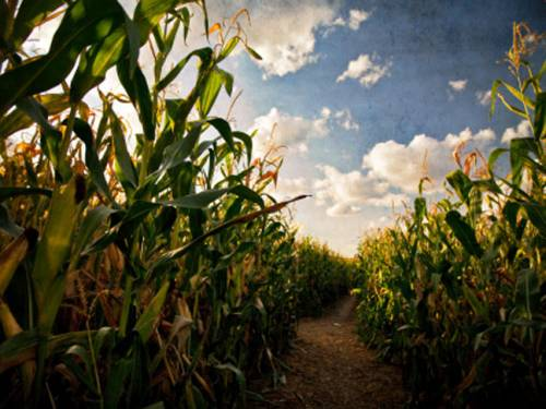 The US government has slashed its expectations for corn and soybean production. (Getty)