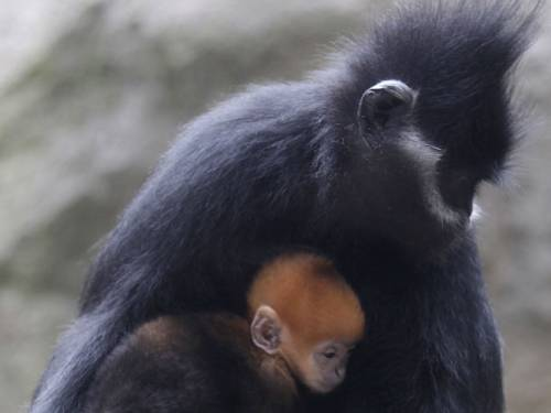 The primate birth control program has been hailed a success. (AAP)
