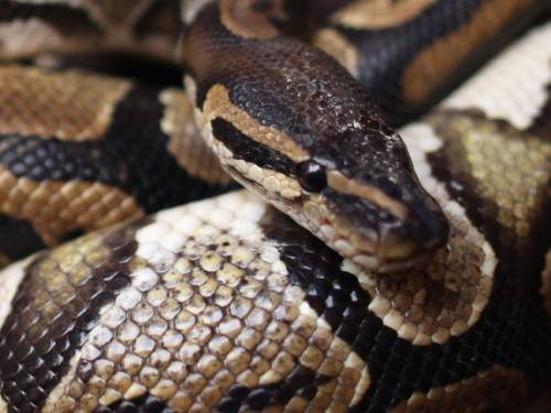 Snakes with the disease start to display strange behavioural traits, such as