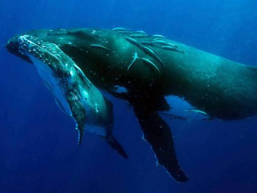 A Sydney Ferry has struck a humpback whale and her calf in Sydney Harbour, injuring both. (AAP)