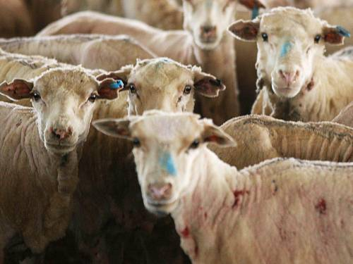 Australian sheep denied access to Bahrain are being unloaded in Pakistan for an alternative buyer. (AAP)