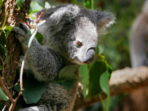 The foundation believes there are as few as 45,000 koalas left in Australia. (Getty)