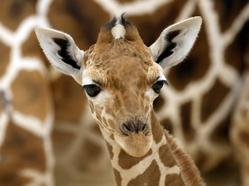One of the giraffes died within hours of the incident and the second was found dead on Monday morning. (AAP)