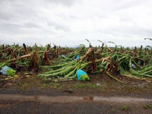The latest damage to the two key farming commodities brings the total crop losses in Queensland state, the heart of the nation's agriculture sector, to $1.4 billion due to natural disasters in the past six weeks. (AAP)