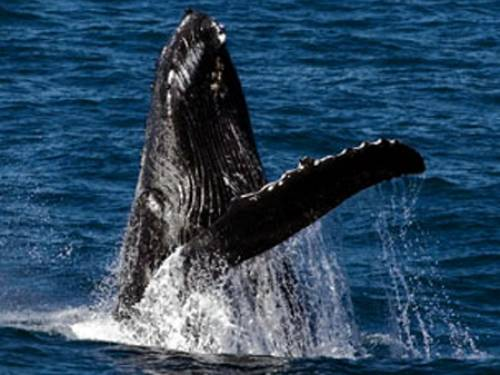 Humpback whales are currently migrating north along the east coast of Australia to breeding grounds in warmer waters. (AAP)