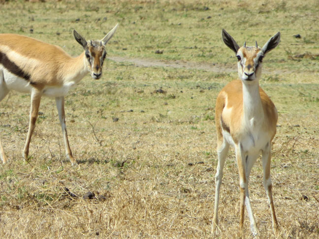 Thomson gazelles