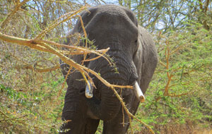 African elephants have large ears (the Indian variety have smaller ones), but we can't really see this fellow's set as they're folded back safely out of the way of the acacia thorns, which can be up to 5 cm long (SBS)