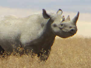 Rhino readies to charge